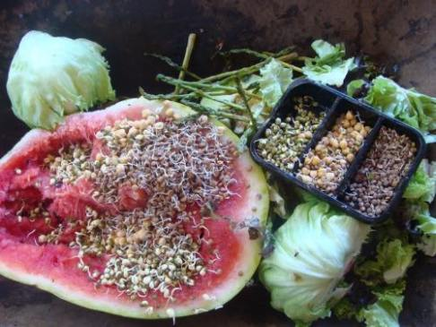 Worm farm food sprouts and watermelon.