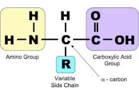 Amino acid structure.
