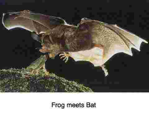 Bat meets frog is a subject close to Bernard Preston's heart.