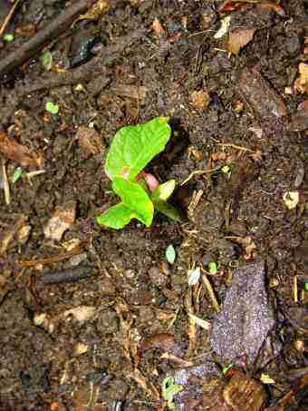 Dwarf bean seedling