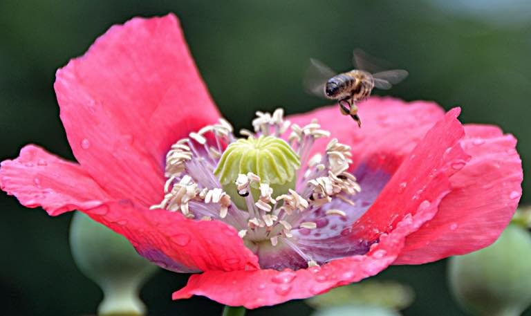 Bee flying back to the hive from a poppy flower.