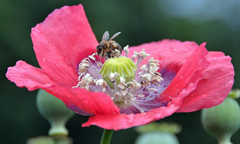 A honey bee pollinating a poppy flower.