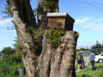 Bee traps can be placed on an old stump or hung up in a tree.