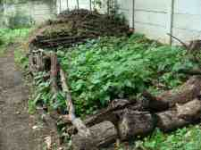 Benefits of green beans grown in the remains of a compost heap in the garden.