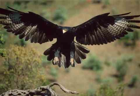 They saw a black eagle on the way up the garden path.