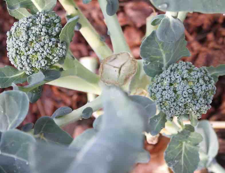 Branching broccoli