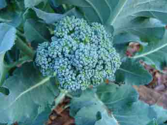 Branching broccoli with large head.
