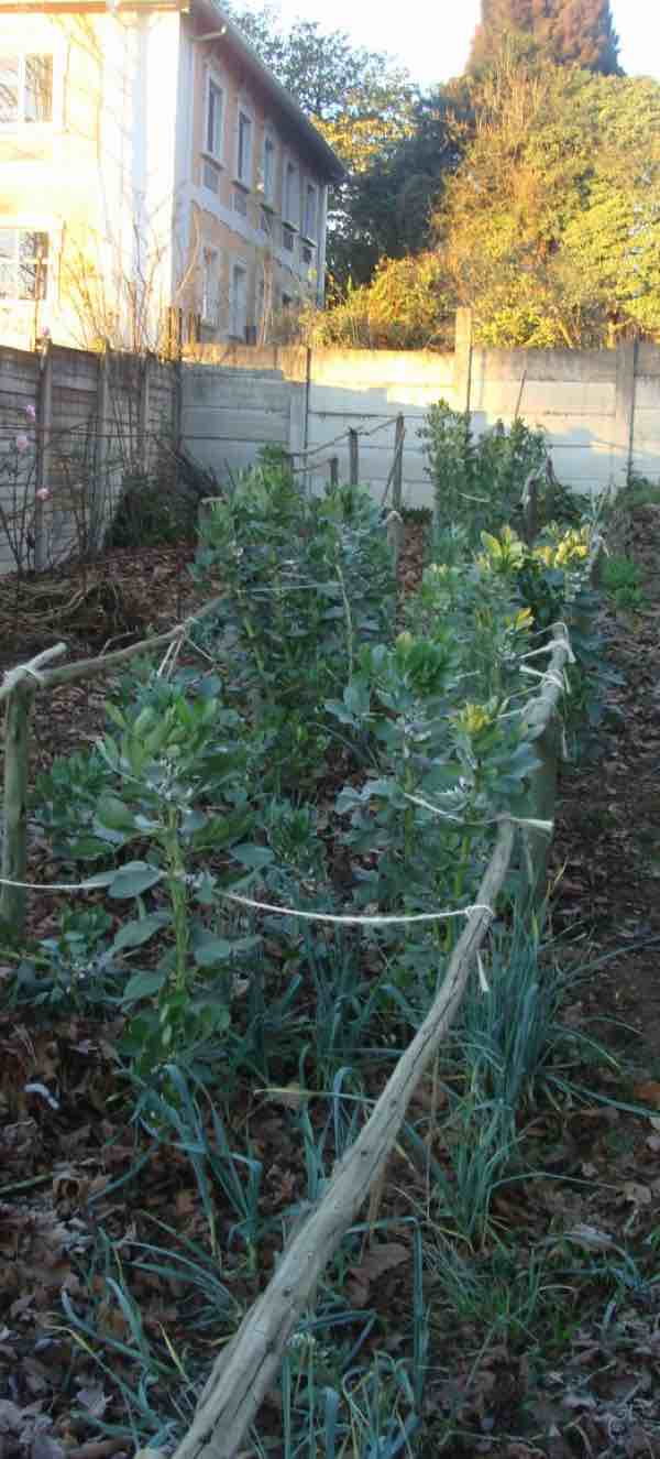 Broad beans plants need to be supported.