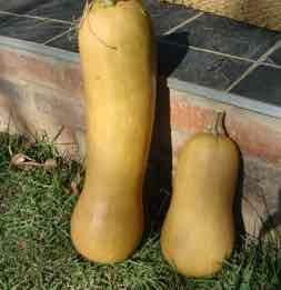 Butternut are rich in beta carotene