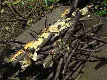 Compost heap fungus.