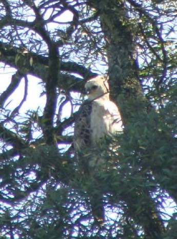 Crowned eagle juvenile eyeing best chicken feed