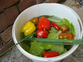 A divine salad starts with a walk in the garden, bucket of clean water in hand.