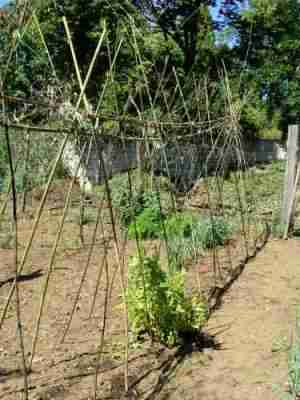 Climbing lima beans need a strong supporting trellis to grow on.