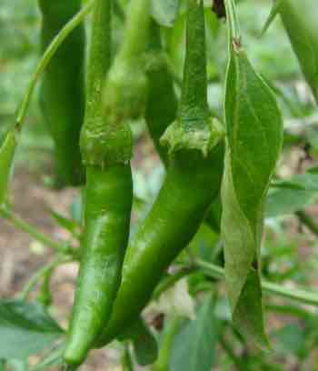 Green chilis for your sauce recipe