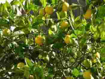 Growing lemon trees
