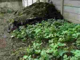 Growing chickpeas and beans compost.