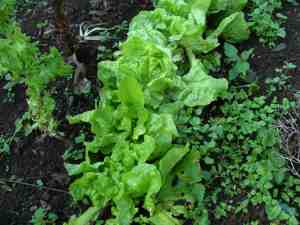 Growing lettuce in the winter garden.