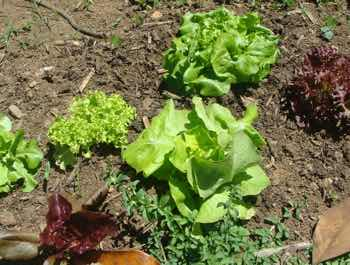 Growing many kinds of lettuces using worm farm vermicompost.