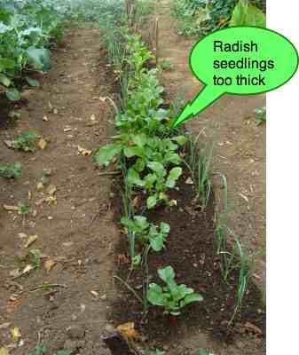 Growing radish too thick