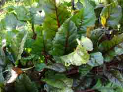 Holy beet tops in Bernard Preston's garden are first cousins and even nicer than Swiss chard.
