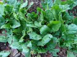 Holy spinach in Bernard Preston's garden