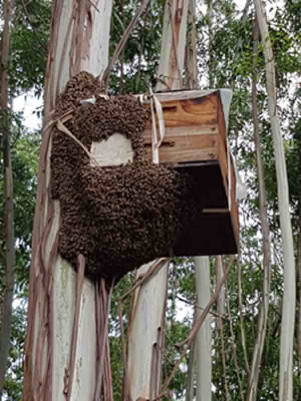 Honey bee traps catch a huge swarm in the forest.