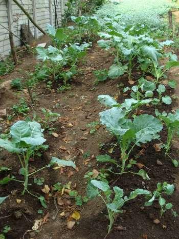 How to grow broccoli, small plants.
