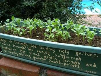 How to grow broccoli seedlings.