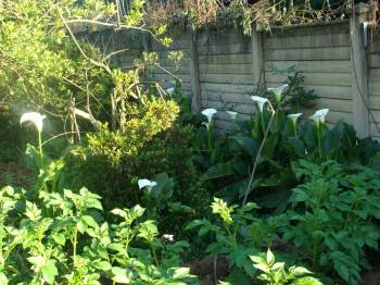 How to plant potatoes amongst the arums
