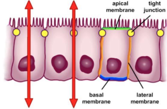 Intestinal epithelium