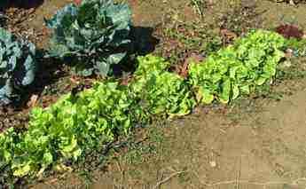Lettuce bolting