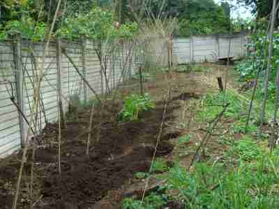 Lima beans need a very strong trellis to support them.