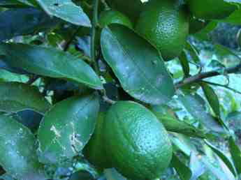 Lime first fruit.