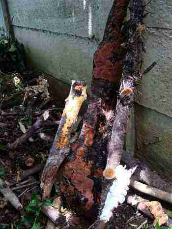Making a compost pile with sticks covered with fungi.