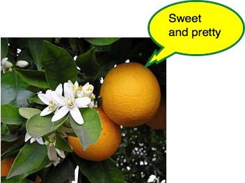 Mandarin tree flowers smell so sweet.