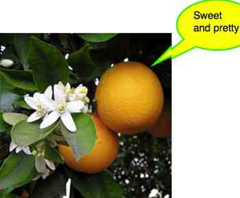 Mandarin orange tree fruit and flowers