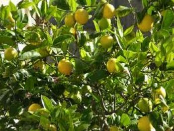 Mayer lemon trees are important in our garden for all the salads we are potting.