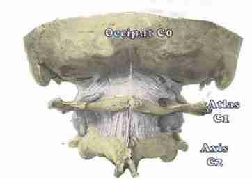 Neck skull C1-C2 gross anatomy