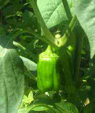 Paprika bell peppers
