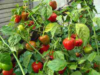 Pepperdews red are so rewarding in any flower or vegetable garden.