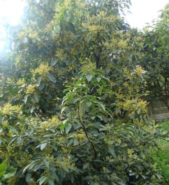 The Pinkerton avocado tree is heavy in flower at the fourth year; growing them has been a success.