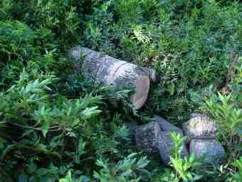 Pinoak firewood logs need processing equipment