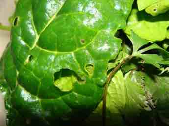 Planting broccoli spinach