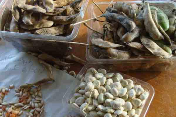 At the end of the season collect the fried lima bean pods for next year's crop.