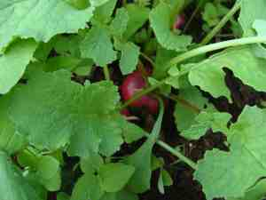 Radish in the autumn garden.