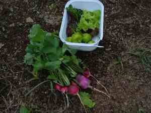 Radishes, peppers and lettuce for lunch.