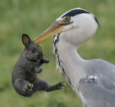 A heron or reiger will feed on any small animals including a baby rabbit, or haasje.