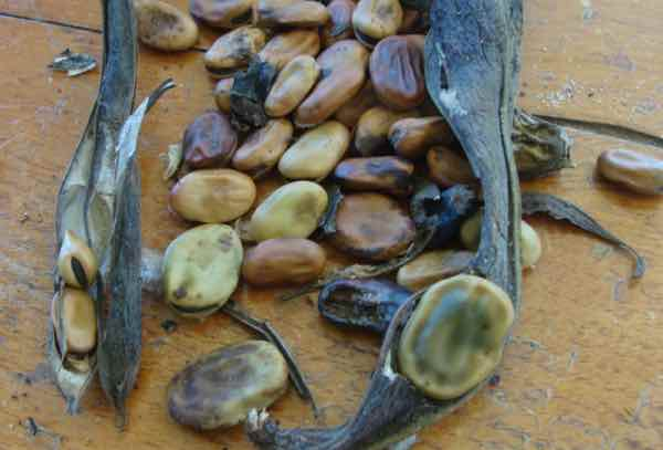 Save broad bean seeds