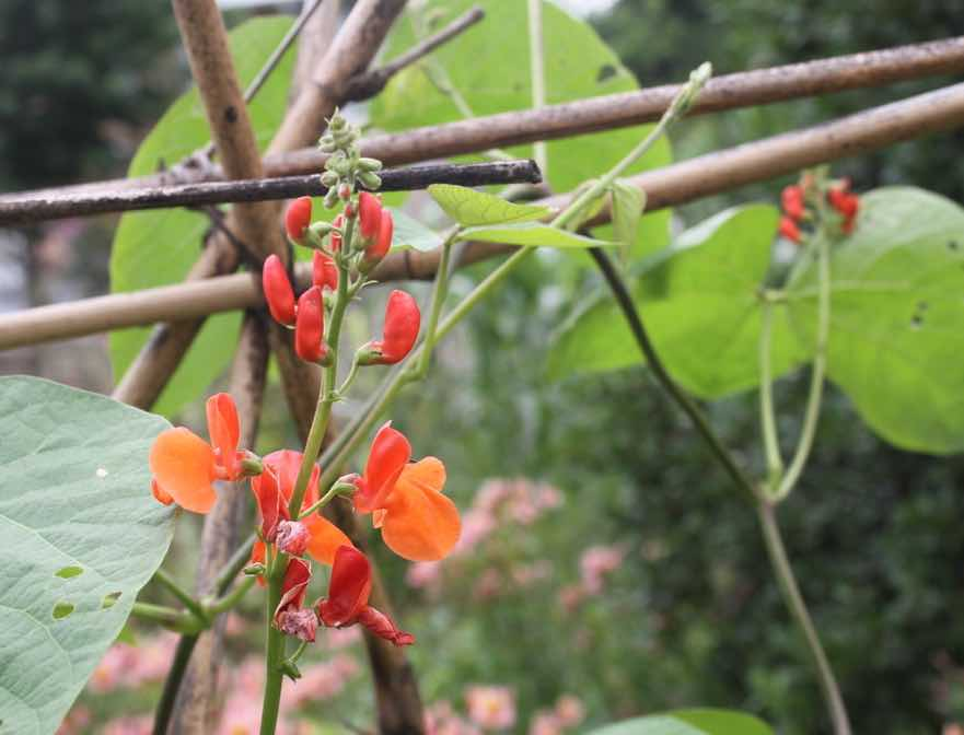 Scarlet runner bean needs to be eaten very young, or podded.