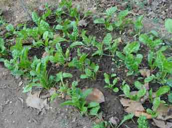 Keep planting more rows of spinach every month or two in late summer and the early winter garden.